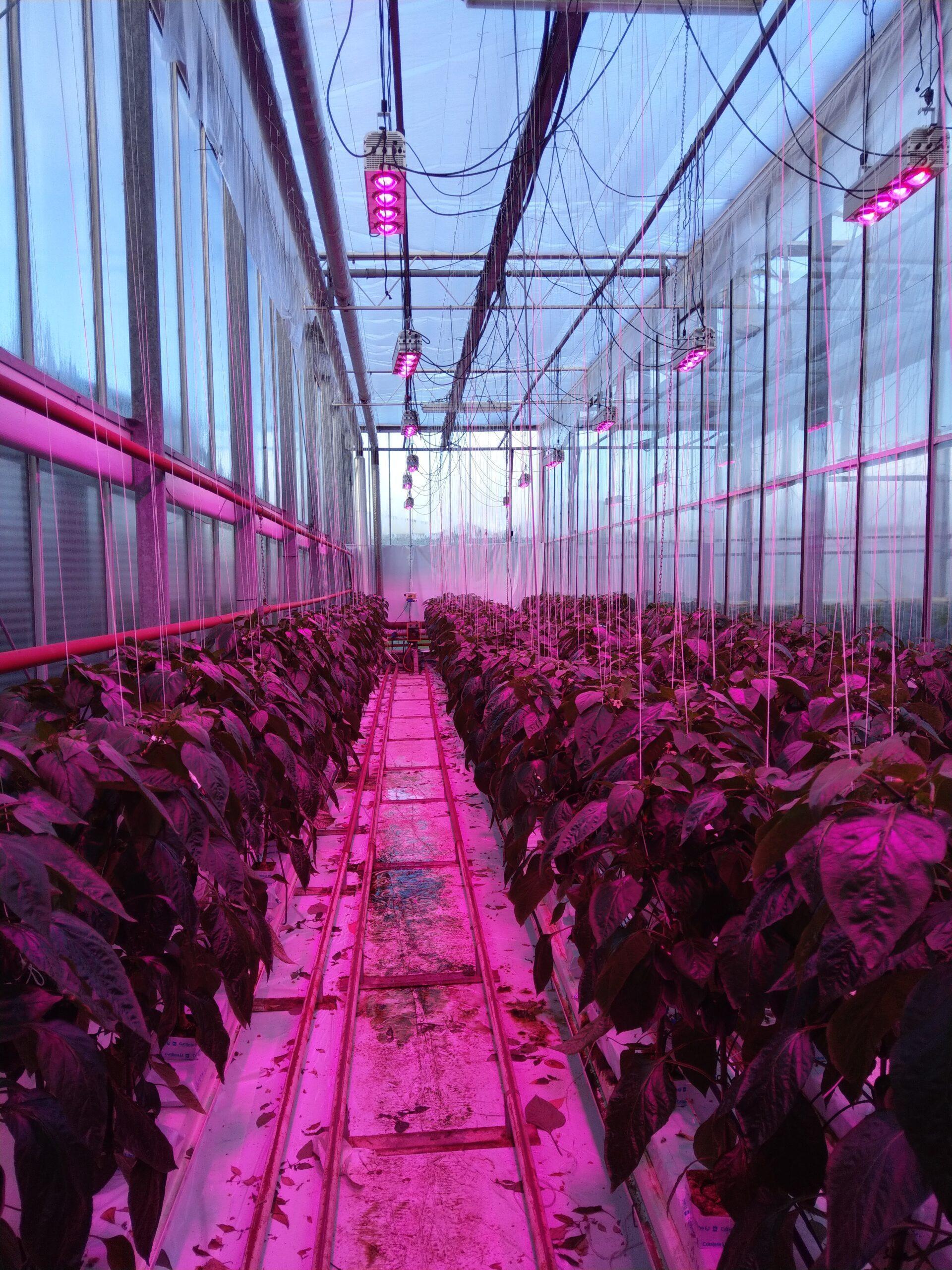 bell pepper greenhouse