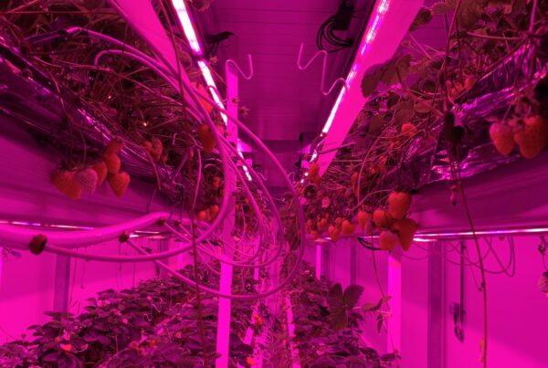 Strawberry Climate Chamber