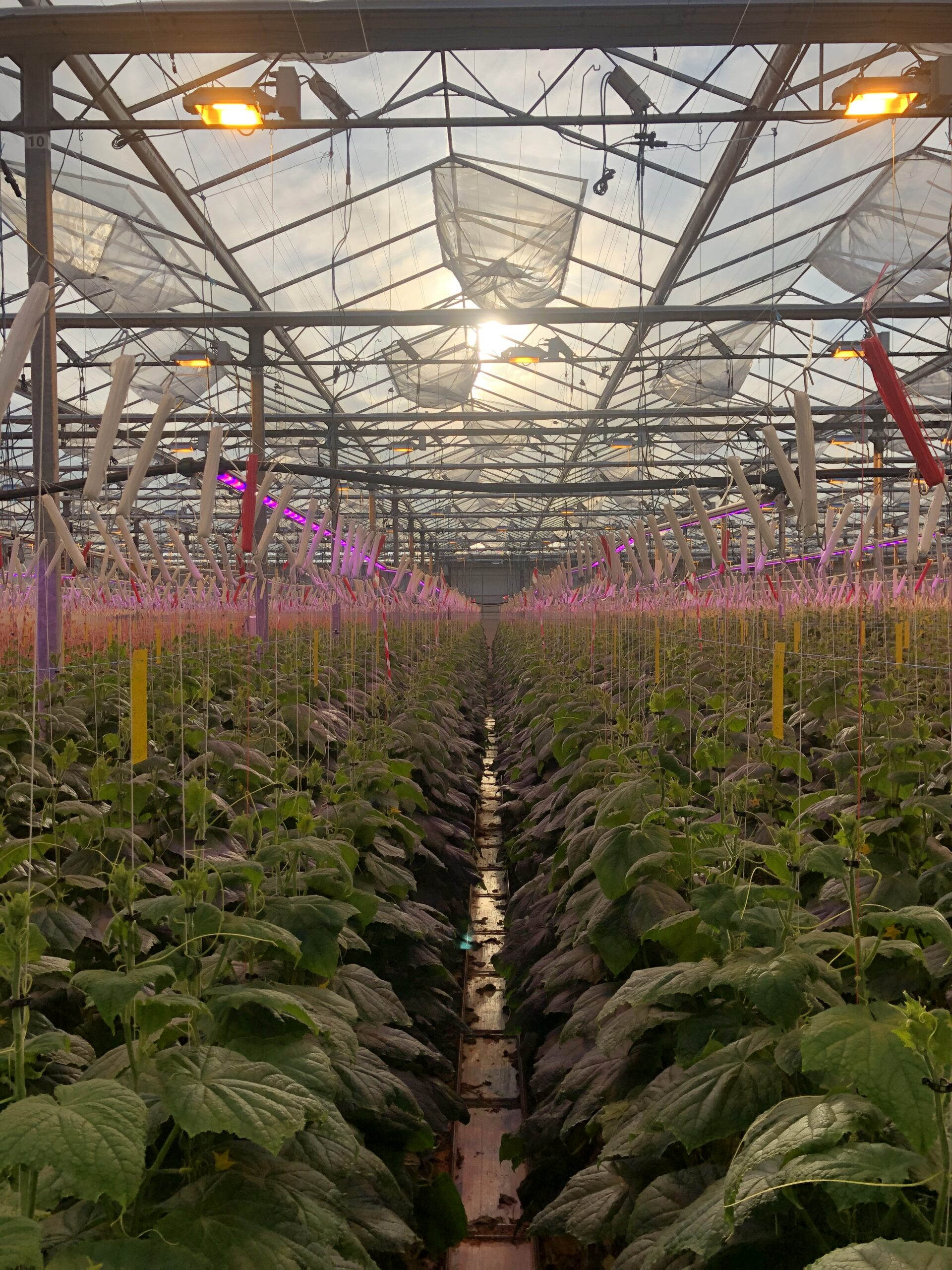 linear single layer cucumber greenhouse