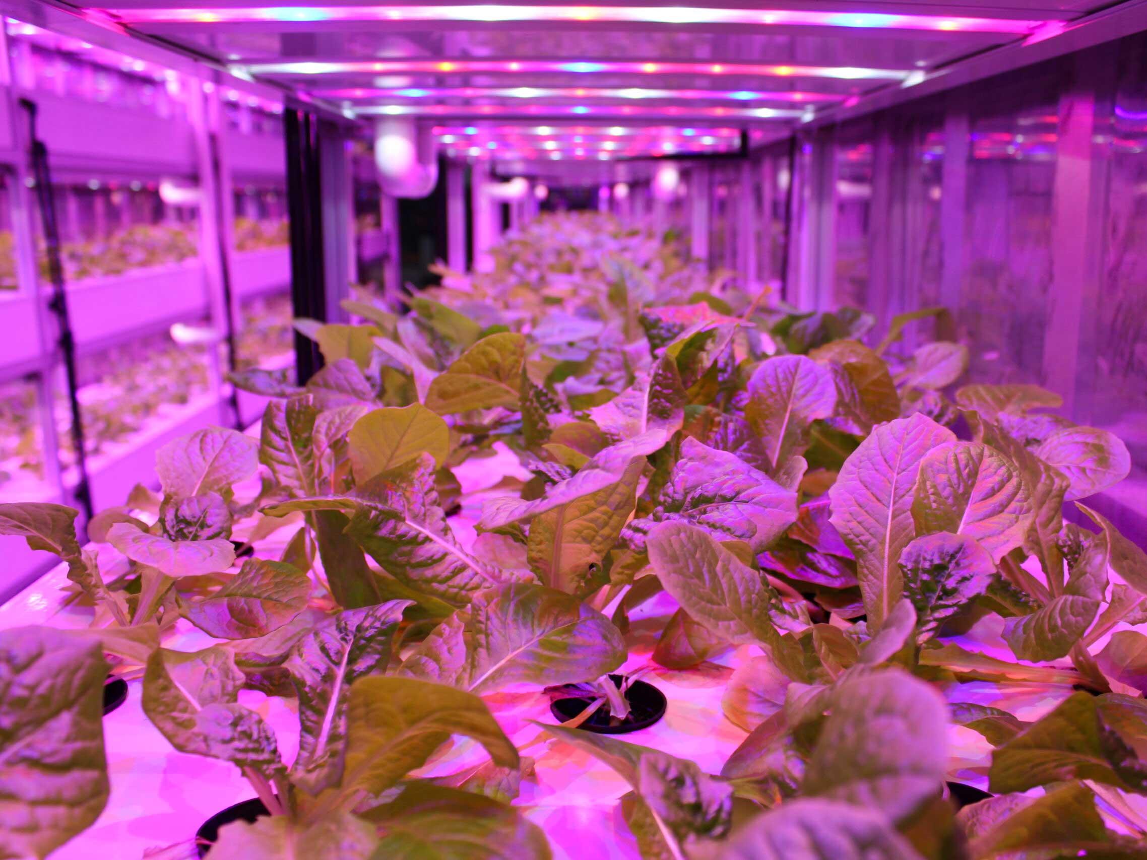 Plant Factory System lettuce
