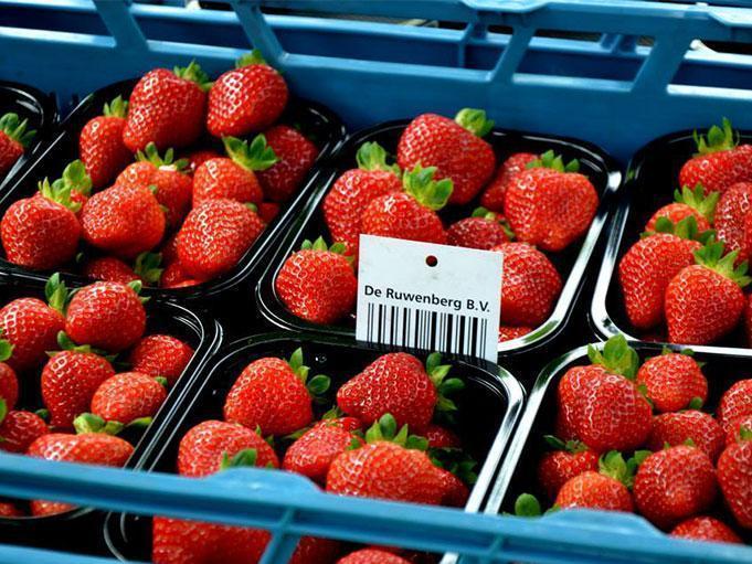 Strawberries De Ruwenberg