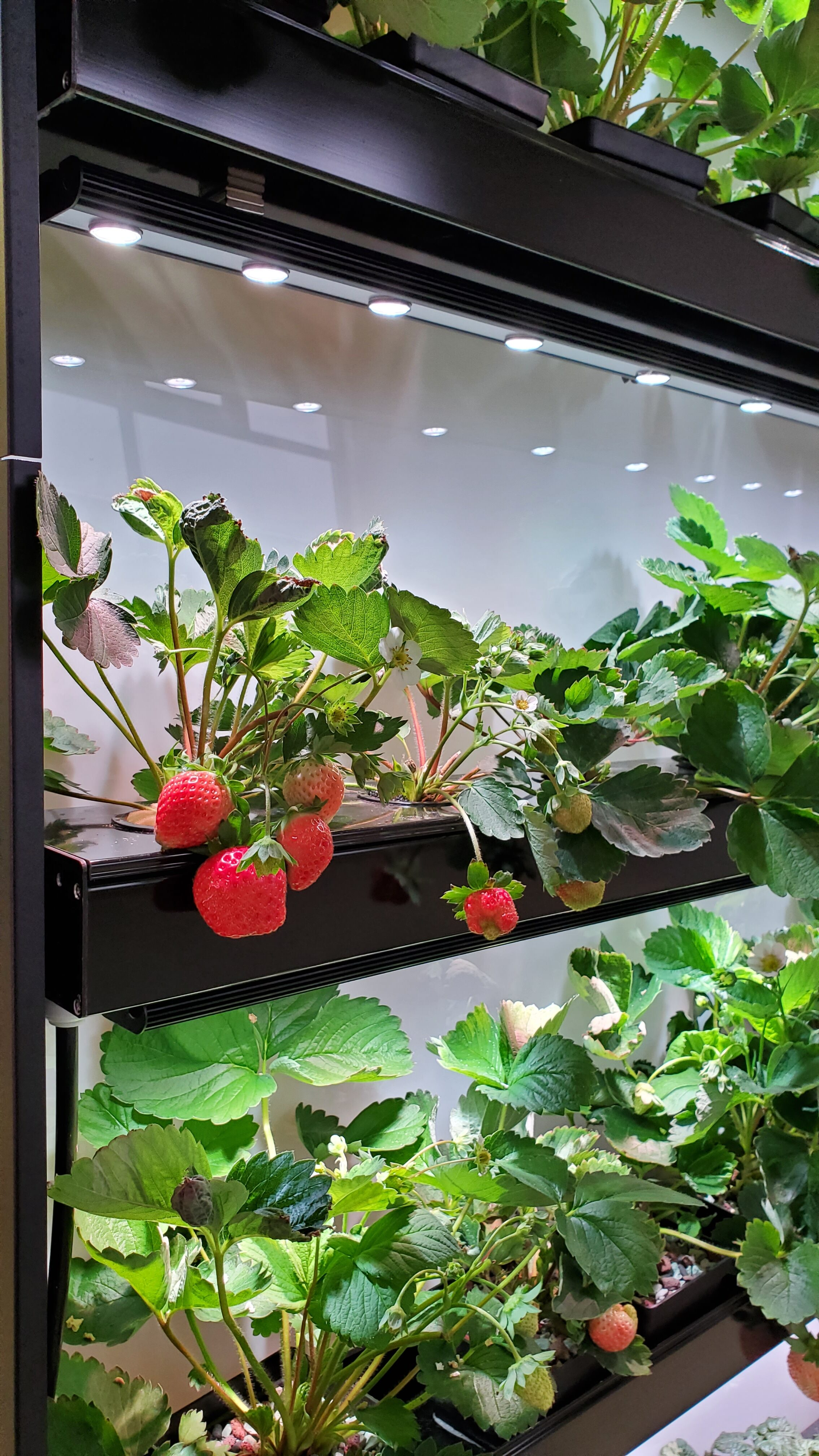 Furegreen Strawberry plant